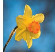 SM14214 - Daffodil (6 blank cards)