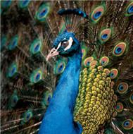 SM14215 - Peacock (6 blank cards)