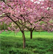 SM14218 - Cherry Blossom (6 blank cards)