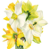 BS77412 - Narcissi (6 blank cards)