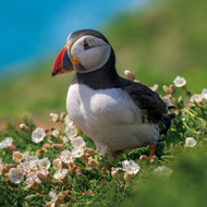 EF12084 - Puffin (6 blank cards)