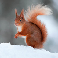 TWT91109 - Red Squirrel 8pk (TWT, 6 Christmas packs)