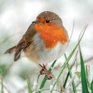 SS00488 - Robin in Falling Snow 8pk (SongBird Survival, 6 Christmas packs)