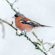 SS00489 - Chaffinch in Snow 8pk (SongBird Survival, 6 Christmas packs)