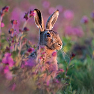 WT91413 - Brown Hare amongst Heather (TWT, 6 blank cards)