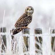 WT91411 - Short eared Owl (TWT, 6 blank cards)
