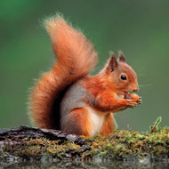 WT91412 - Red Squirrel (TWT, 6 blank cards)