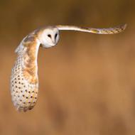 WT91415 - Barn Owl (TWT, 6 blank cards)