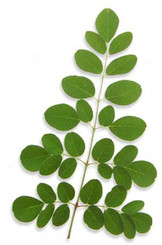 Moringa The Tree of Life mp3