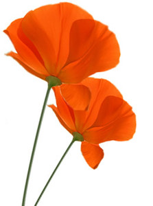 Californaia Poppy