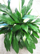 Peace Lily Plant (Classic)