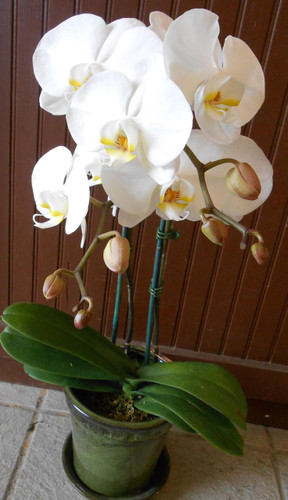 Phaelonopsis Orchid Plant (Classic)