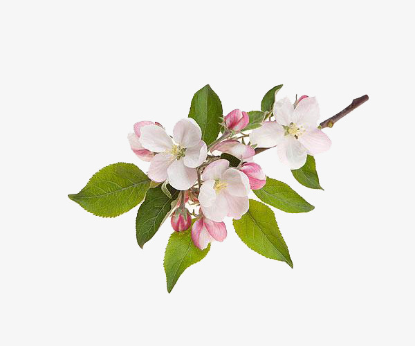 apple-blossom.jpg