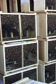 3lb Italian Package of Bees, Pick up April 2021