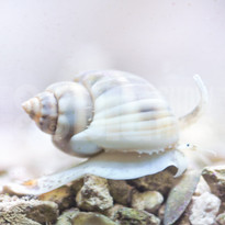 Tongan Nassarius Snail
