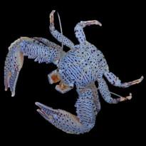 Porcelain Crab Crab
