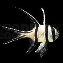 Bangaii Cardinalfish, Captive-Bred