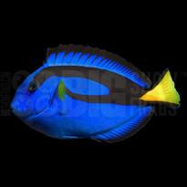 Blue Hippo Tang - Tank Raised