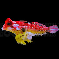 Ruby Red Dragonet - Eating!
