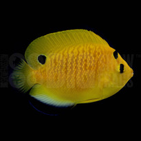 Goldflake Angelfish - Captive Bred