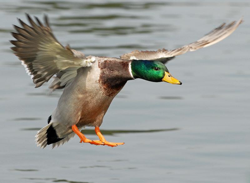 duck-waterfowl-hunting.jpg