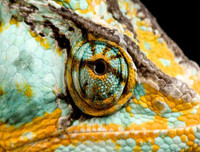 Veiled Chameleon Puzzle - National Geographic Photo Ark