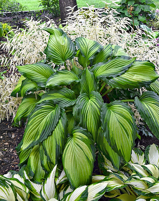 new hostas for 2018 the best varieties of perennial shade plants