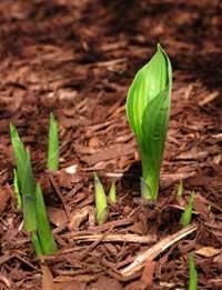 hosta-sprouting.jpg