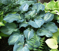 'Guardian Angel' Hosta