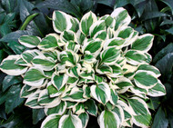'Diamond's are Forever' Hosta Courtesy of Walters Gardens