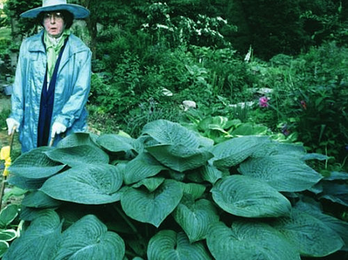 'Humpback Whale' Hosta Courtesy of Walters Gardens