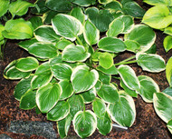'Diana Remembered' Hosta From NH Hostas