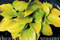 Appletini Hosta Courtesy of Q&Z Nursey