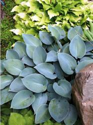 'Blue Cherub' Hosta Courtesy of Q&Z Nursery