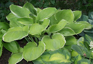 'Parhelion' Hosta From NH Hostas