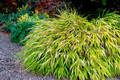 Hakonechloa macra 'All Gold' Courtesy of Walters Gardens