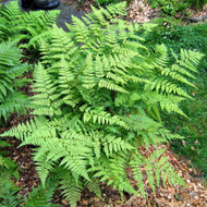 Fancy Wood Fern Courtesy of Casa Flora