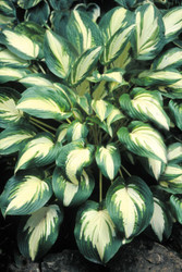 'Jerry Landwehr' Hosta Courtesy of Shady Oaks Nursery