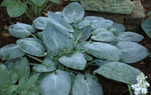 'Skylight' Hosta From NH Hostas
