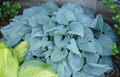 'Fragrant Blue' Hosta