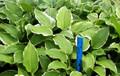 'Summer Fragrance' Hosta From NH Hostas
