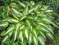 'Cascades' Hosta From NH Hostas