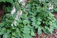 Abby Hosta - 3 Inch Container