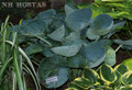 'Abiqua Drinking Gourd' Hosta From NH Hostas