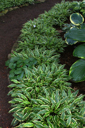 'Stiletto' Hosta