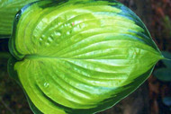'Final Summation' Hosta Courtesy of Green Hill Farm