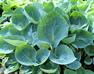 'Rock and Roll' Hosta From NH Hostas