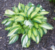 'Rainbow's End' Hosta From NH Hostas
