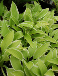 'Lemon Frost' Hosta From NH Hostas