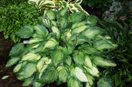 'Ghost Spirit' Hosta From NH Hostas
